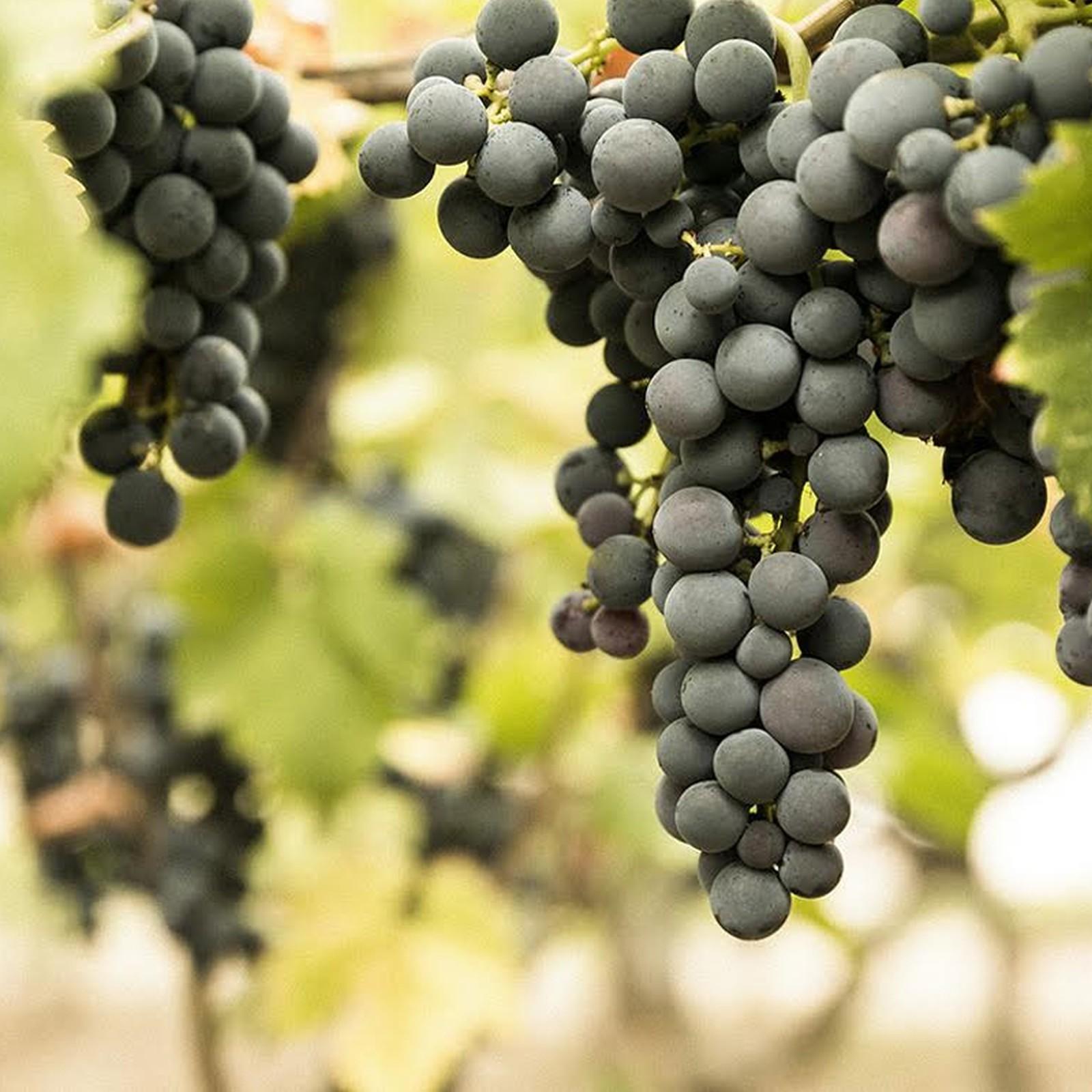 I migliori vini pugliesi: Nero di Troia, oltre il Primitivo e il Negromaro
