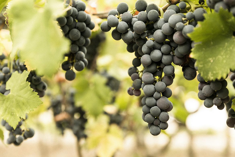 Nero di Troia: il re dei vitigni della Puglia settentrionale