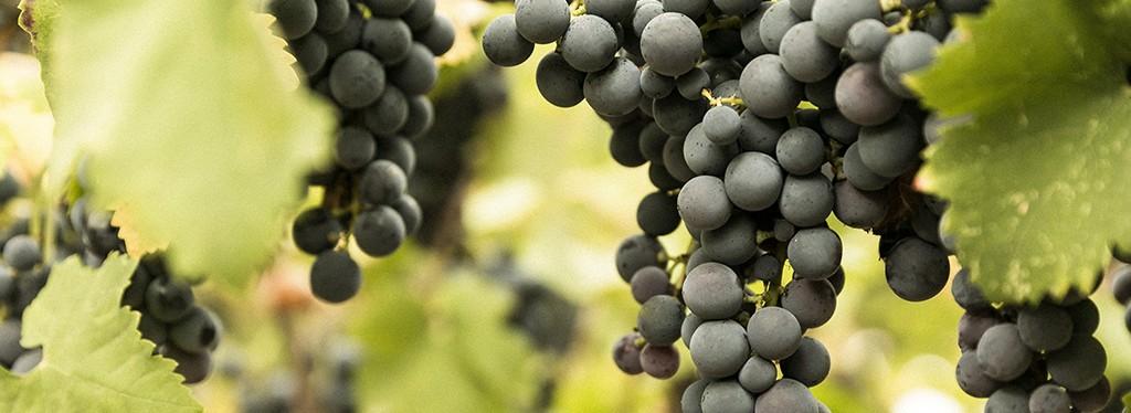 Le vinificazioni delle uve Nero di Troia