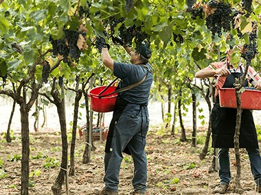 Le cultivar di Crifo: 5 tra i vitigni più importanti di Puglia