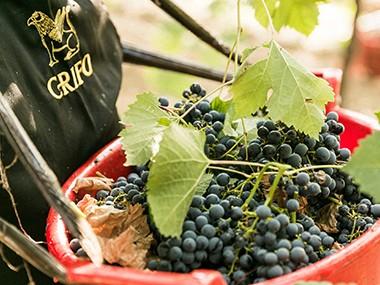 Tutti i vitigni pugliesi autorizzati da disciplinare, usati nella produzione dei vini Crifo
