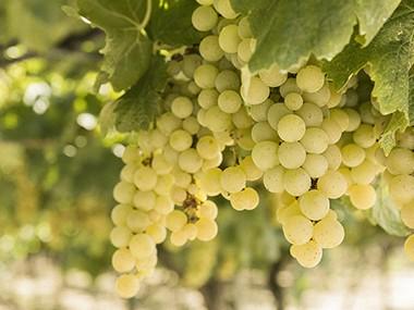 La denominazione Igp Puglia: il vitigno Moscatello Selvatico e le proposte Crifo