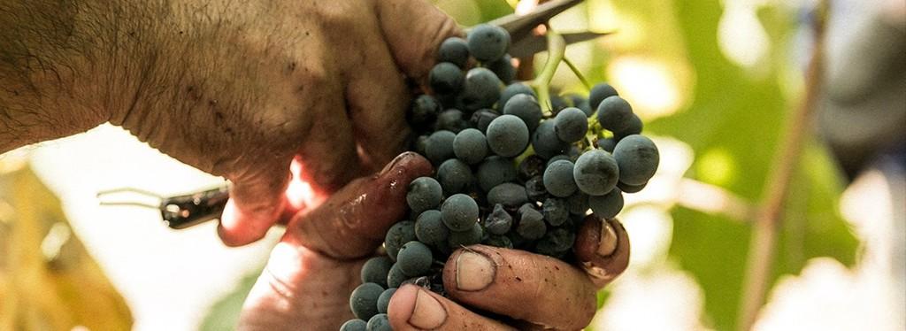 Crifo: frutto di 60 anni di lavoro tra i vitigni più coltivati in Puglia