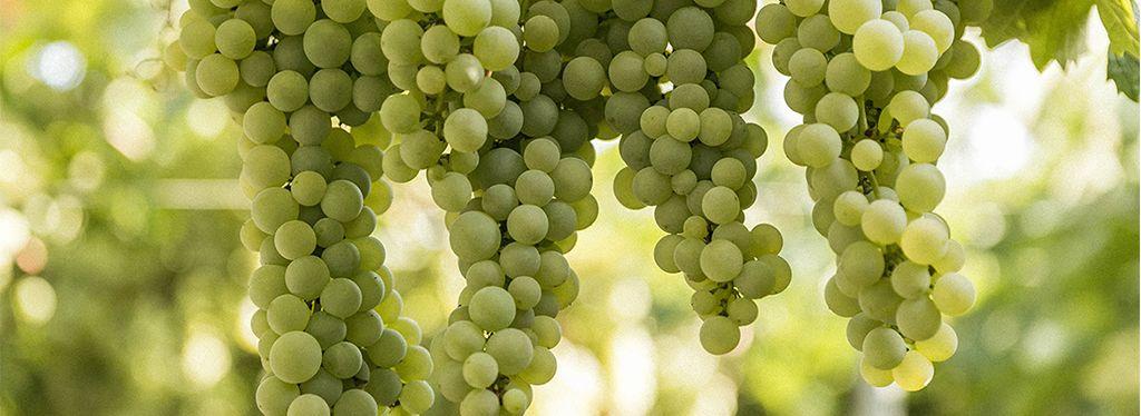 Verdeca o Pampanuto, uno dei più importanti vitigni pugliesi a bacca bianca